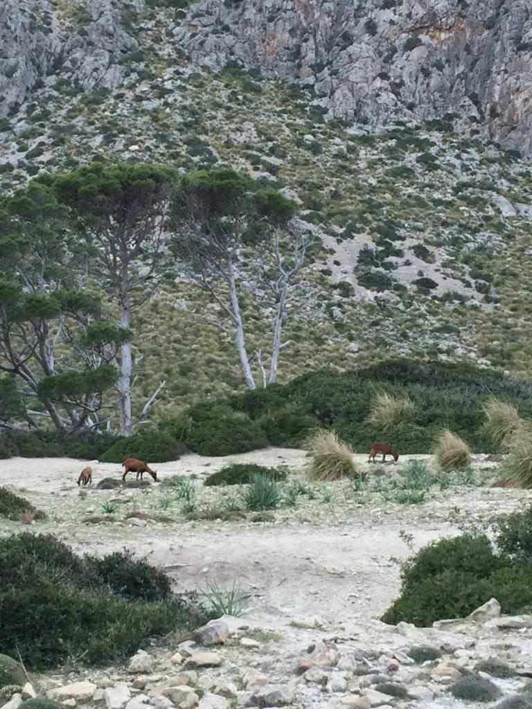 Goatd at Vall de Bóquer - Majorca