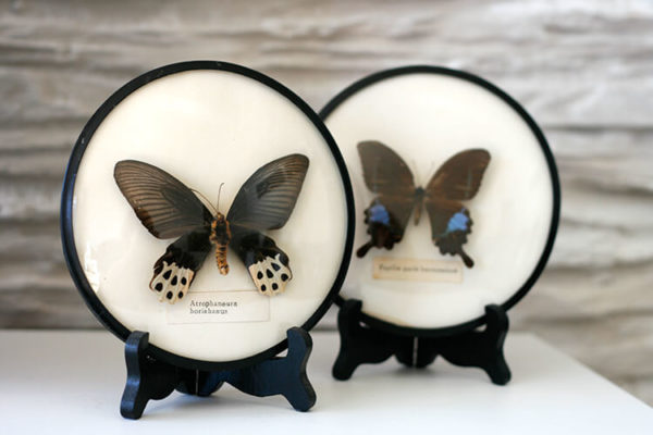 Mid century modern living/ Taxidermy Butterflies