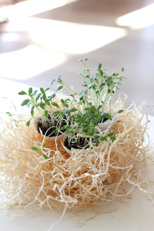 eggshell planter cress